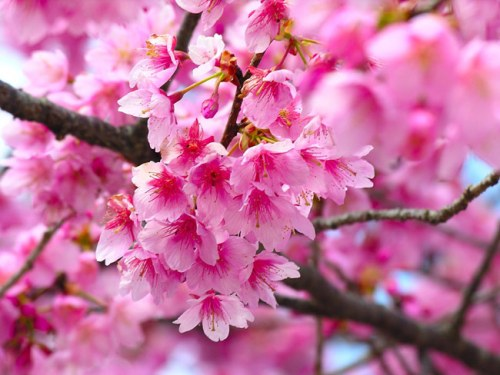 Cherry Blossom Pink Flowers Spring Colorful Bright